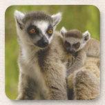 lemurs Anillo-atados (catta) del Lemur madre y beb Posavasos De Bebidas