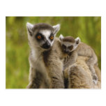 lemurs Anillo-atados (catta) del Lemur madre y beb Postales