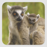 lemurs Anillo-atados (catta) del Lemur madre y Pegatina Cuadrada