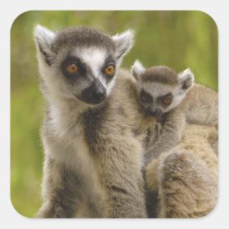lemurs Anillo-atados (catta) del Lemur madre y Calcomania Cuadrada Personalizada
