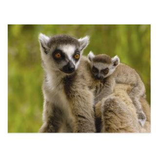 lemurs Anillo-atados (catta) del Lemur madre y Postales