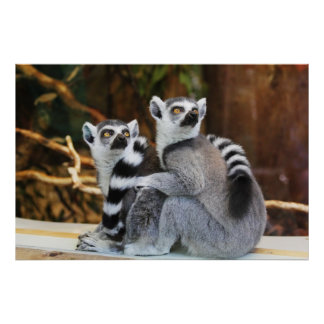 Lemurs Anillo-Atados Impresiones