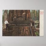 Leñadores que reducen un árbol de la secoya póster