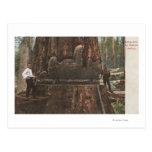 Leñadores que reducen un árbol de la secoya tarjetas postales