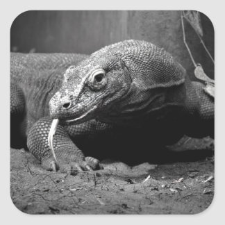 lengua blanco y negro del dragón de komodo hacia calcomanía cuadradas