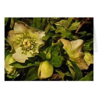 Lenten Rose Easter Card