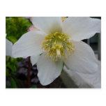 Lenten Rose Flower Postcard