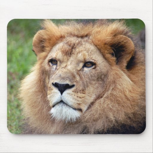 león africano 6 alfombrillas de raton