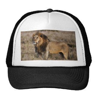 León africano en hierba gorras de camionero