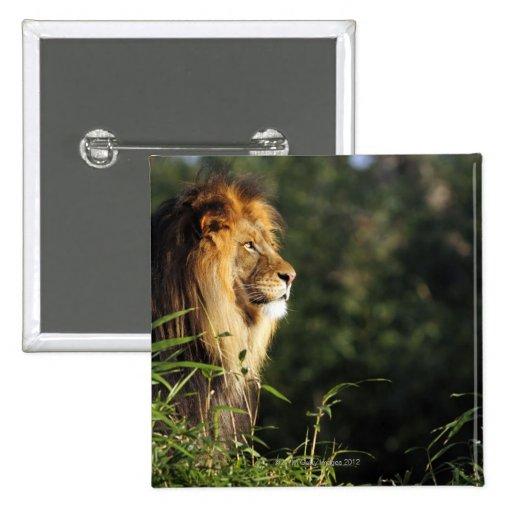 León africano masculino en el parque zoológico en  pin