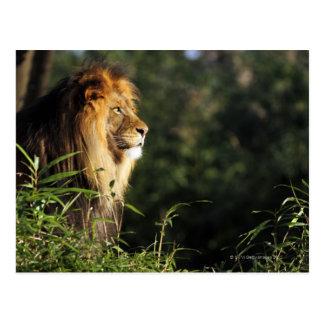 León africano masculino en el parque zoológico en postal