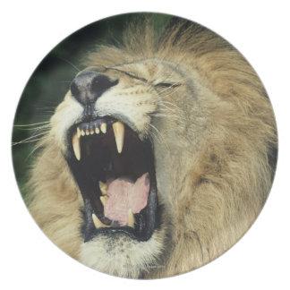 león africano masculino Negro-crinado que bosteza Plato De Comida