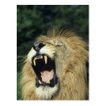 león africano masculino Negro-crinado que bosteza Postal
