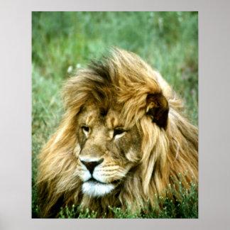 León africano impresiones