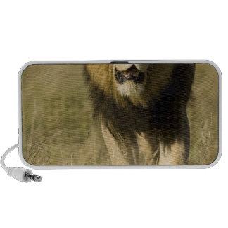 León africano, Panthera leo, caminando en Altavoces De Viajar