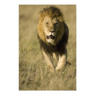León africano, Panthera leo, caminando en Fotografías