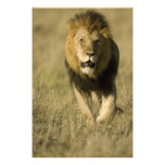 León africano, Panthera leo, caminando en Impresiones Fotográficas