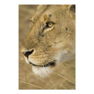 León africano, Panthera leo, cierre encima del ret Fotografías