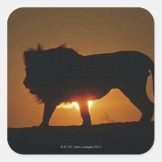 León africano (Panthera leo) contra puesta del Pegatina Cuadrada