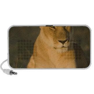 León africano, Panthera leo, en la salida del sol. Mini Altavoces