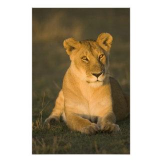 León africano, Panthera leo, en la salida del sol. Cojinete