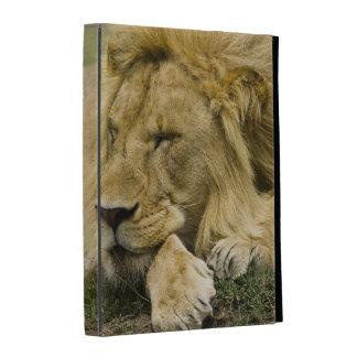 León africano, Panthera leo, fijación dormida
