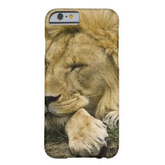 León africano, Panthera leo, fijación dormida Funda Barely There iPhone 6