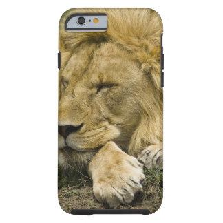 León africano Panthera leo fijación dormida