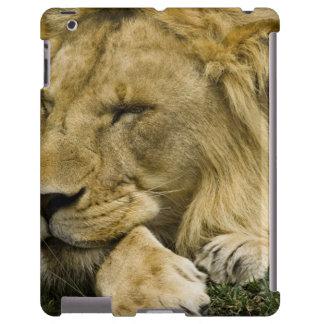 León africano, Panthera leo, fijación dormida Funda Para iPad