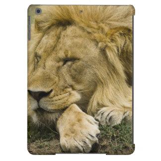 León africano, Panthera leo, fijación dormida Funda Para iPad Air