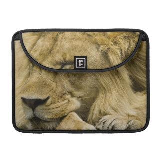 León africano, Panthera leo, fijación dormida Fundas Para Macbook Pro