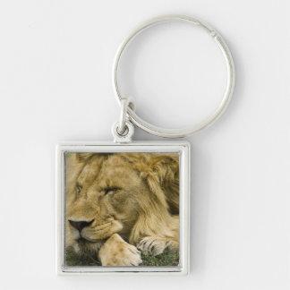 León africano, Panthera leo, fijación dormida Llaveros Personalizados
