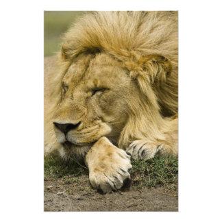 León africano, Panthera leo, fijación dormida Foto