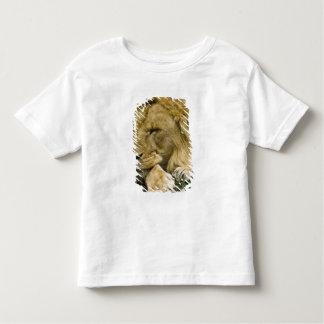 León africano, Panthera leo, fijación dormida Polera