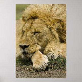 León africano, Panthera leo, fijación dormida Póster