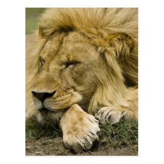 León africano, Panthera leo, fijación dormida Tarjeta Postal