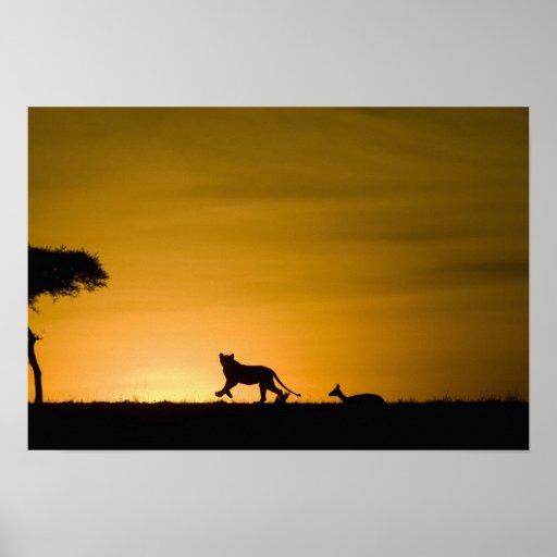 León africano, Panthera leo, persiguiendo el gazel Impresiones