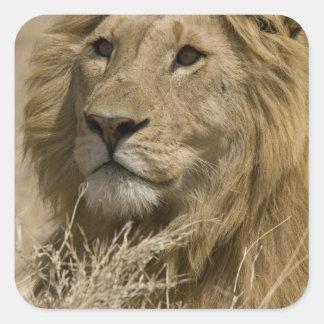 León africano, Panthera leo, retrato de a Pegatina Cuadrada