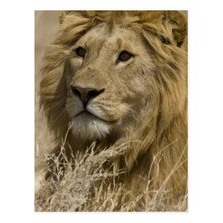 León africano, Panthera leo, retrato de a Postal