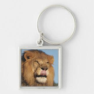 León africano (Panthera Leo), sabana africana Llavero Cuadrado Plateado
