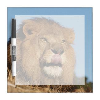 León africano (Panthera Leo), sabana africana Pizarra Blanca