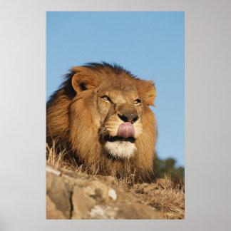 León africano (Panthera Leo), sabana africana Póster