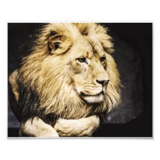 León africano impresión fotográfica