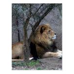 león africano por el árbol postal