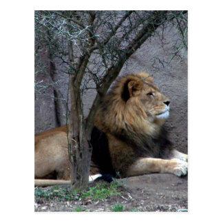 león africano por el árbol tarjetas postales