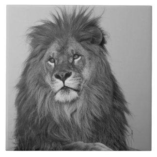 León africano que descansa sobre el acantilado de  azulejo cuadrado grande