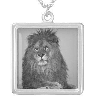 León africano que descansa sobre el acantilado de  collar plateado