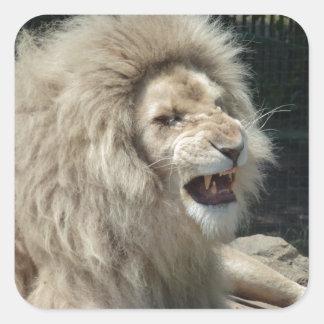 León blanco del gruñido pegatina cuadrada