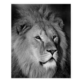 León blanco negro - arte animal de la fotografía póster