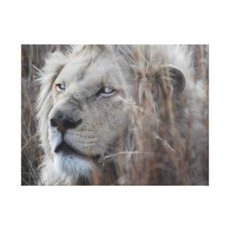 León blanco que descansa - africano lona envuelta para galerias